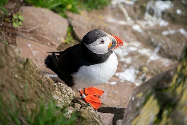 Wilde atlantische papegaaiduikerzeevogel op de rotsen
