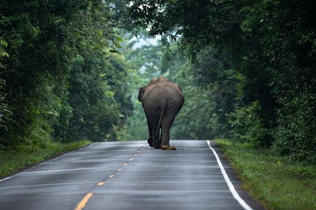 Wilde aziatische olifant wandelen, op de grond gaan liggen, ontspannen op het grasveld. khao yai-natuurpark, thailand. wilde aminal