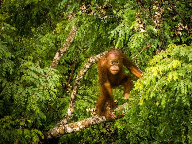 Wilde babyorangoetan die rode bessen in het bos van borneo maleisië eten