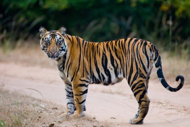 Wilde bengaalse tijger die zich op de weg in de wildernis bevindt. india.