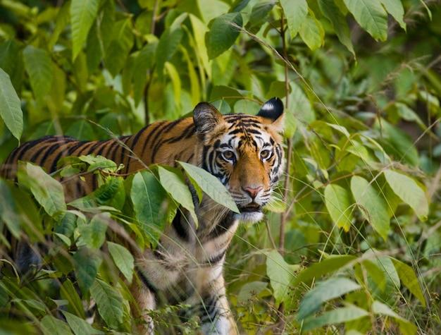 Wilde bengaalse tijger kijkt uit de struiken in de jungle. india.