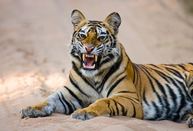 Wilde bengaalse tijger liggend op de weg in de jungle. india. bandhavgarh nationaal park. madhya pradesh.