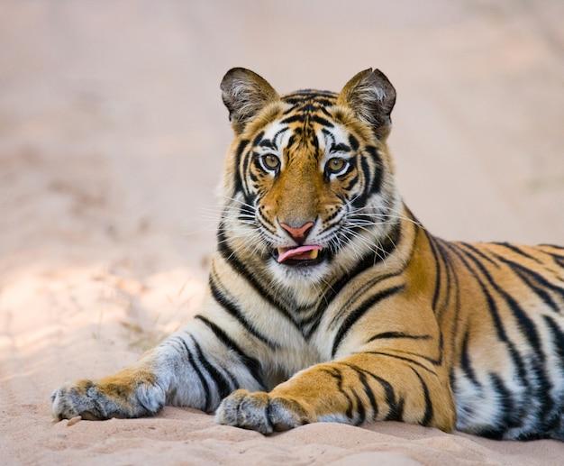 Wilde bengaalse tijger liggend op de weg in de jungle. india.