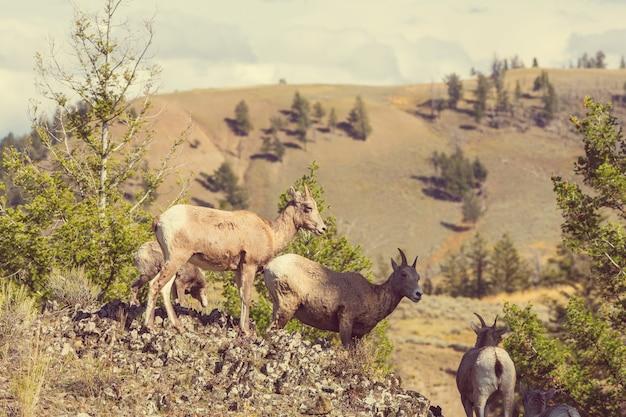 Wilde berggeit in cascade-bergen