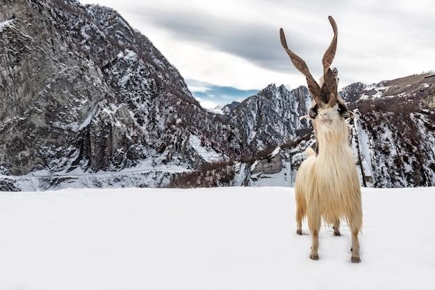 Wilde berggeit in de sneeuw