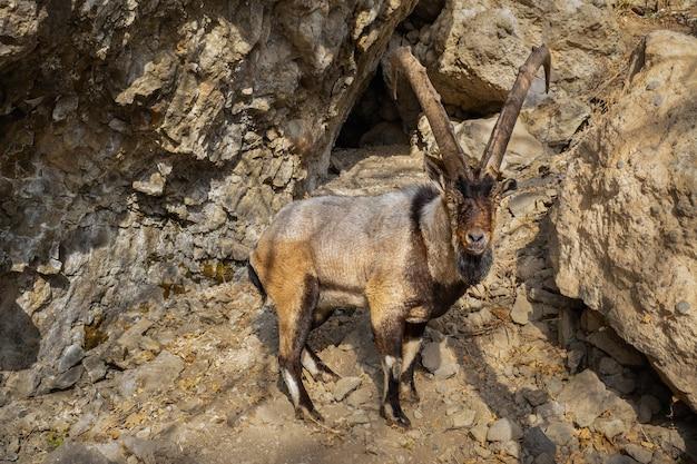 Wilde bezoar-geit in de natuurhabitat bezoar-steenbok capra aegagrus