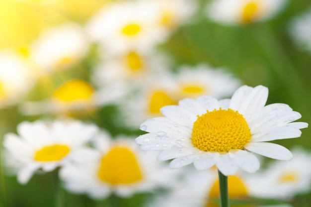 Wilde bloem. kleine kamille of madeliefje bloemen in zonnige zomerdag op een weide.