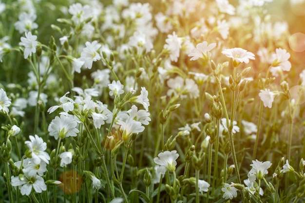 Wilde bloemen in zonlicht zomer concept.