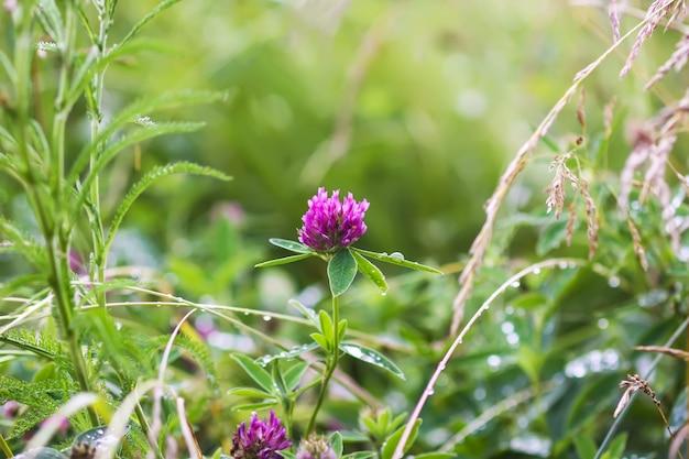 Wilde bloemen op zomer veld. roze klaverbloem.