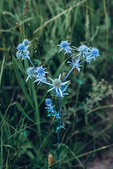Wilde bloemen van blauwe eryngium op weide