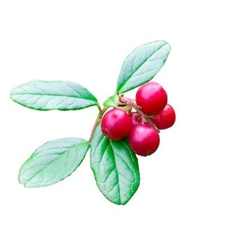 Wilde bosbes foxberry, rode bosbes met bladeren met bladeren op een tak, isoleren op een witte achtergrond