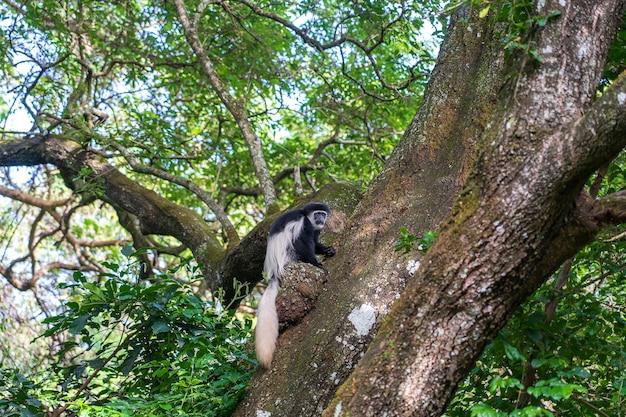 Wilde colobus guereza aap zittend op de tak in tropisch woud