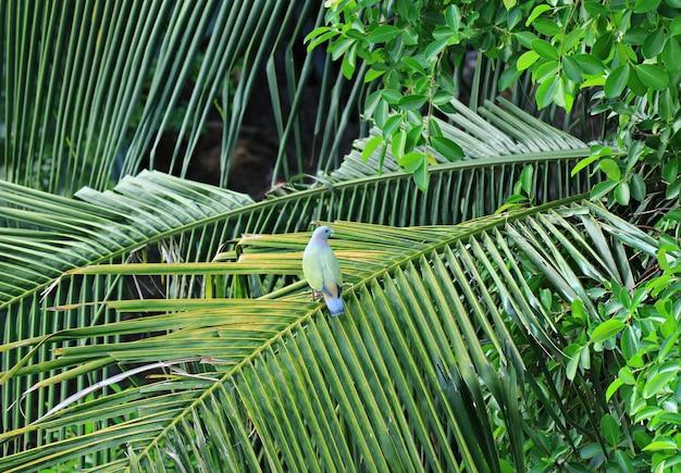 Wilde dik-gefactureerde groene duif die op het blad van de kokospalm neerstrijkt, stedelijk bangkok, thailand