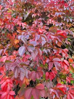 Wilde druiven met felrode bladeren en rijpe bessen in de herfst