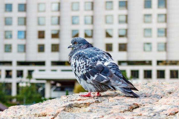 Wilde duiven op de granieten muur in het stadspark