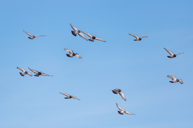 Wilde duiven vliegen tegen blauwe hemel