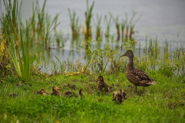 Wilde eend in het voorjaar in het natuurreservaat aiguamolls de l'emporda, spanje.
