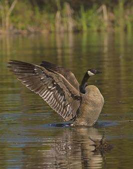 Wilde eend met zijn vleugels open op het water