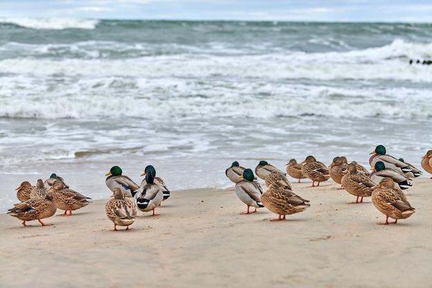 Wilde eend watervogels aan de kust in de buurt van de oostzee