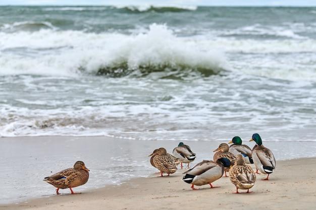 Wilde eend watervogels vogels aan de kust in de buurt van de oostzee. anas platyrhynchos, wilde eendeend.