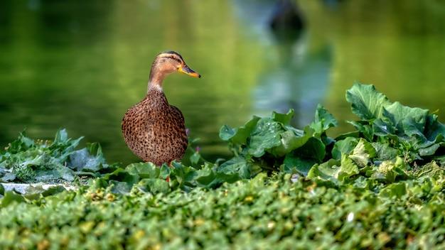 Wilde eendeend - close-up van een wilde eendeend dichtbij het groene water