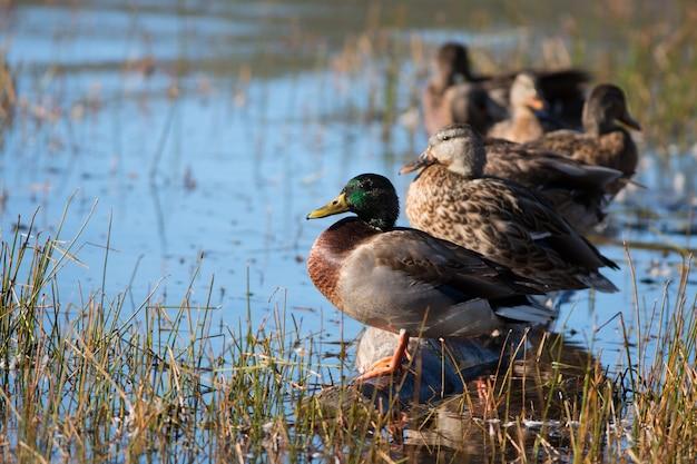 Wilde eendeenden bij meer in utah