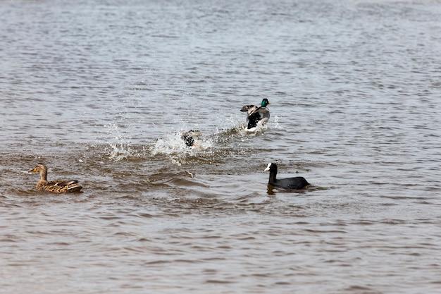 Wilde eenden in de lente of zomer in de natuur, prachtige wilde eenden in de natuur, wilde natuur met vliegende en watervogels