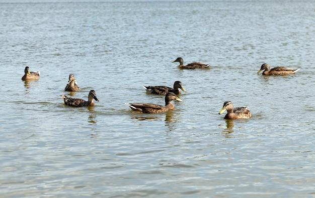 Wilde eenden in de natuurlijke omgeving, wilde kleine eenden op het grondgebied van meren, lenteseizoen met wilde vogels eenden