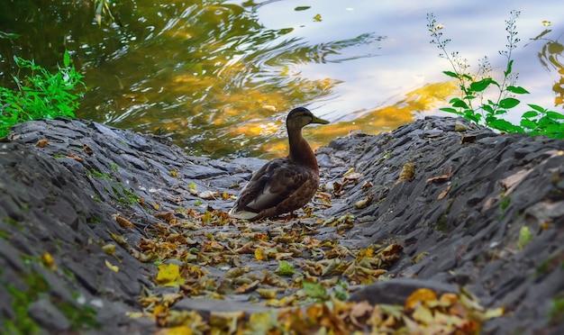 Wilde eenden op een vijver