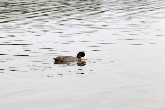 Wilde eenden tijdens recreatie en jacht, wilde watervogels op het grondgebied van meren, eenden in de natuurlijke omgeving