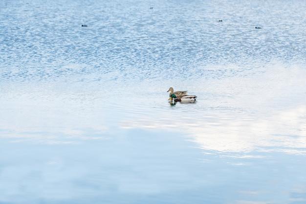 Wilde eenden zwemmen in een helder meer op een zonnige lentedag