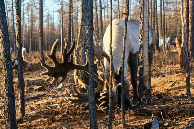 Wilde elf grazen in een bos omgeven door veel kale bomen