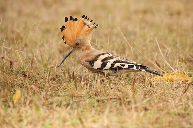 Wilde euraziatische hop in de natuurhabitat