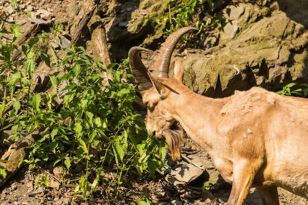 Wilde geit die bladeren in de natuur eet