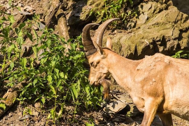 Wilde geit in de natuur
