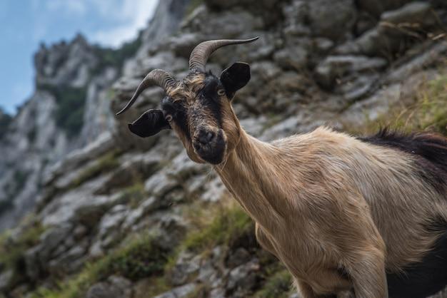 Wilde geit op de rotsen van de berg van asturië in het noorden van spanje