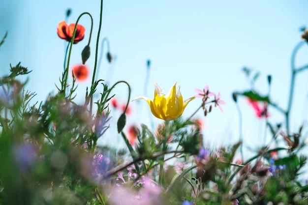 Wilde gele tulp close-up met rode papavers en andere lentebloemen tegen een blauwe hemel.