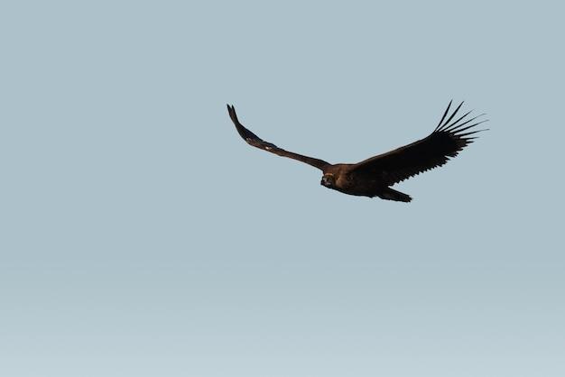 Wilde gier die over de hemel vliegt
