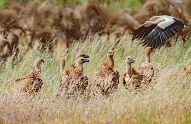Wilde gieren in de natuur