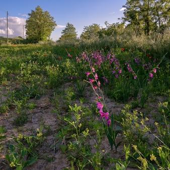 Wilde gladiolen groeien in toscane