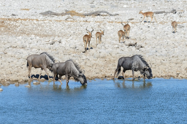 Wilde gnu-antilope binnen in afrikaans nationaal park