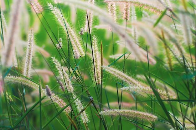 Wilde grassen waaien in de wind. gebied van de zomertijd