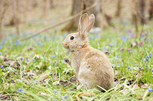 Wilde haas op een bloeiende weide in de lente.