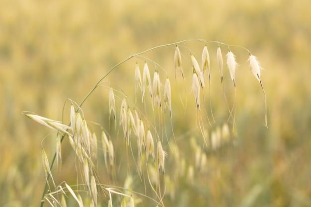 Wilde haver avena sativa op onscherpe achtergrond