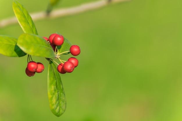 Wilde herfst rijpe medicinale cranberry