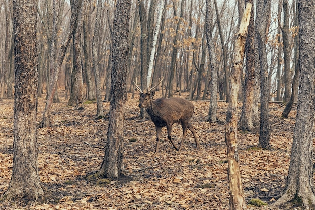 Wilde herten wandelen in het bos in rusland