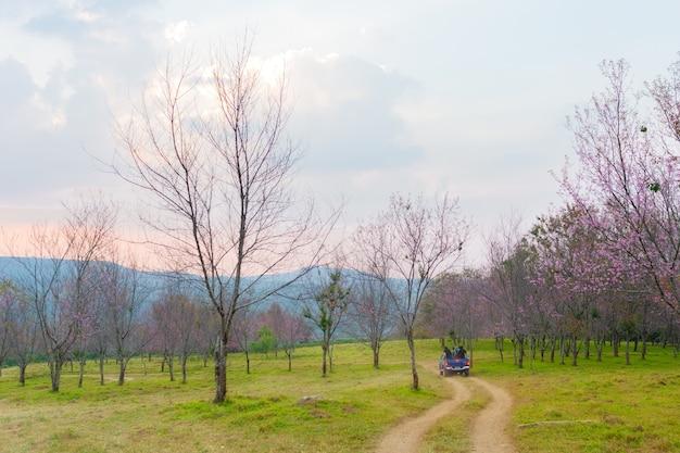 Wilde himalaya-kers in phu lom lo, noord-thailand