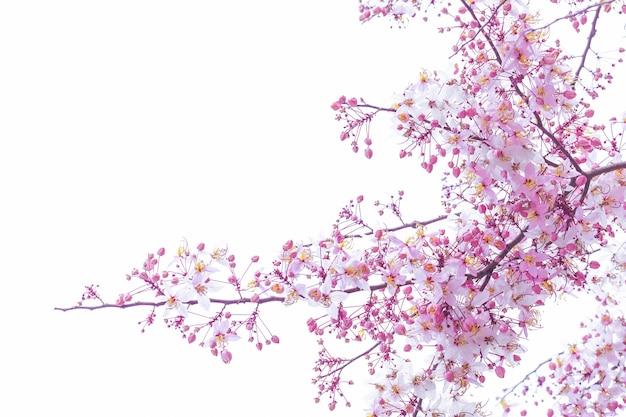 Wilde himalayan cherry prunus-cerasoides die op witte achtergrond bloeien