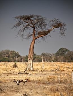 Wilde honden en baobabboom