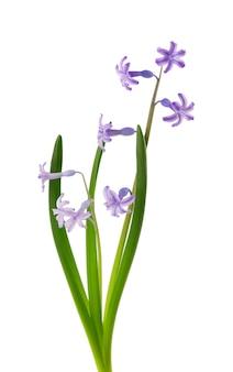 Wilde hyacint bloemen geïsoleerd op een witte ondergrond